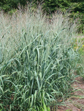 Panicum Dallas Blues (Blue Switch Grass)