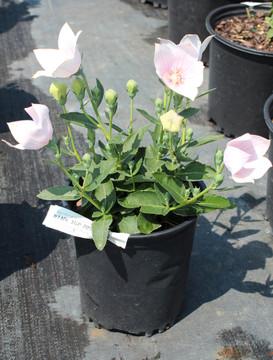 Platycodon Astra Pink (Balloon Flower)