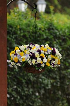 Pansy Cool Wave® Mix Hanging Basket