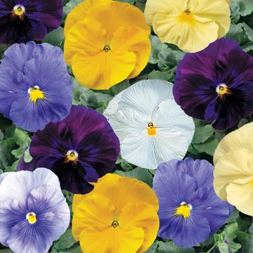 Pansy Delta™ Pure Colors Mix