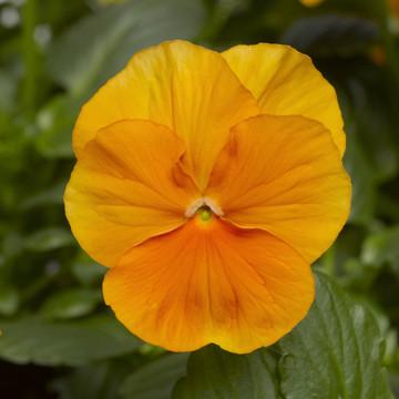 Pansy Delta™ Premium Pure Orange
