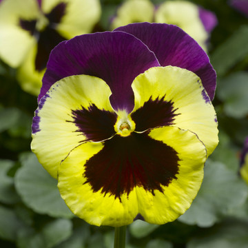 Pansy Delta™ Premium Yellow With Purple Wing