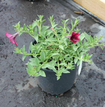 Petunia Easy Wave® Red Velour