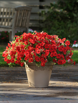 Petunia Easy Wave® Red