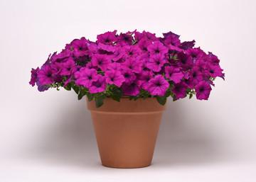 Petunia Easy Wave® Violet