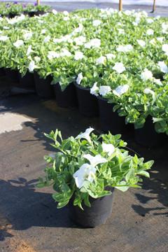 Petunia Easy Wave® White