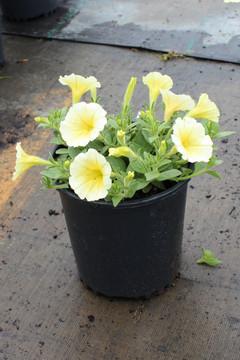 Petunia Easy Wave® Yellow