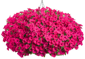 Petunia Supertunia Vista® Fuchsia