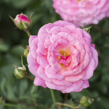 Rose Sweet Drift®