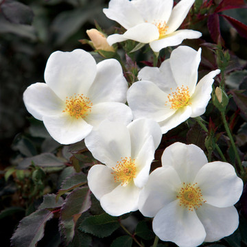 Rose The Knock Out® White