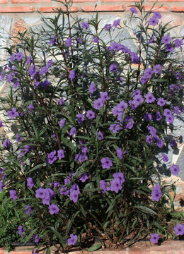 Ruellia Purple Showers (Mexican Petunia)