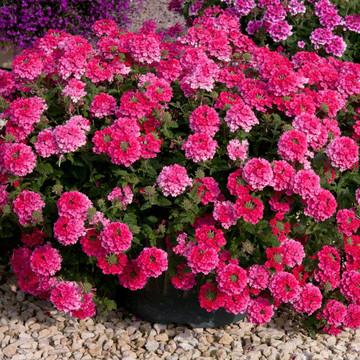 Verbena Endurascape™ Hot Pink