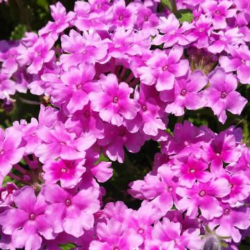 Verbena Endurascape™ Pink Bicolor