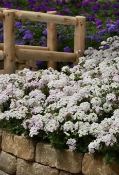 Verbena Endurascape™ White Blush