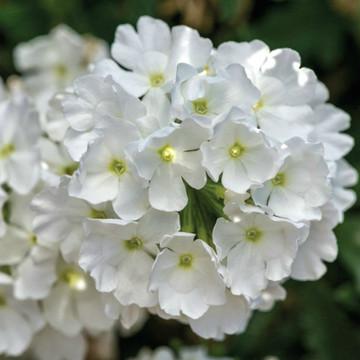 Verbena Lanai® White