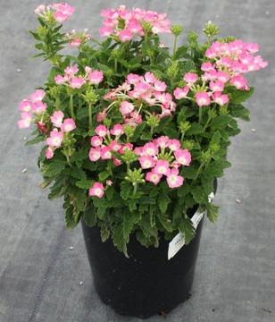 Verbena Lanai® Upright Pink With Eye