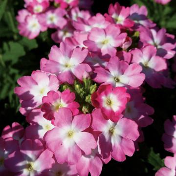 Verbena Lanai® Upright Pink With Eye
