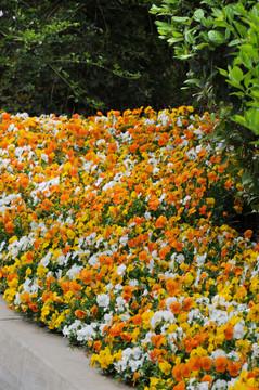 Viola Sorbet® XP Citrus Mix