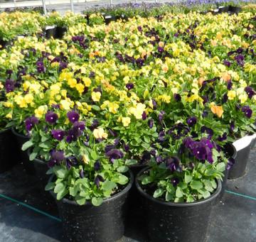 Viola Sorbet® XP Harvest Mix