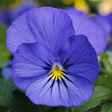 Viola Sorbet® XP True Blue