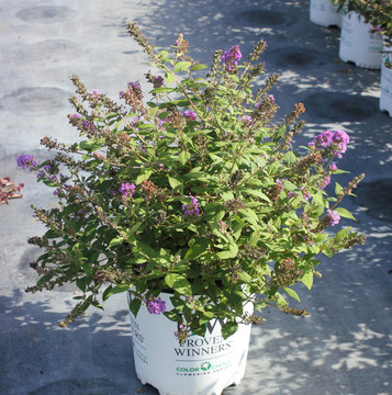 Buddleia Lo & Behold® Blue Chip Jr