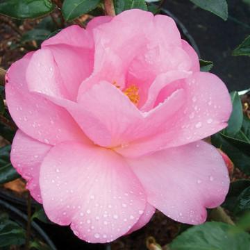 Camellia Kanjiro