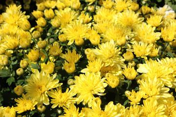 Belgian Mums® Aluga Yellow