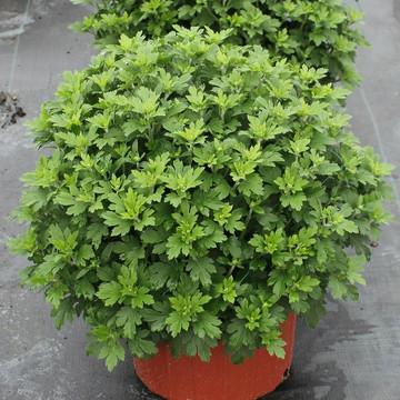 8 inch pot