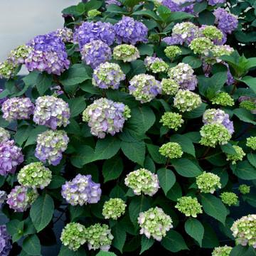 Hydrangea mac. Endless Summer® BloomStruck®