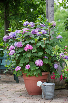 Hydrangea mac. Endless Summer® BloomStruck®
