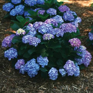 Hydrangea mac. Let's Dance® Blue Jangles®