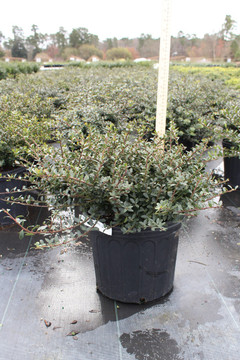 Ilex Helleri (Japanese Holly)