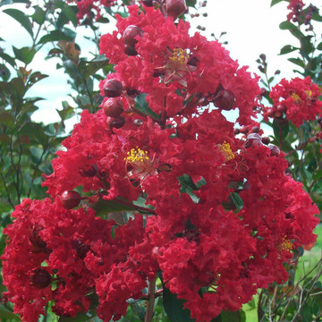 Lagerstroemia Dynamite® (Crape Myrtle)