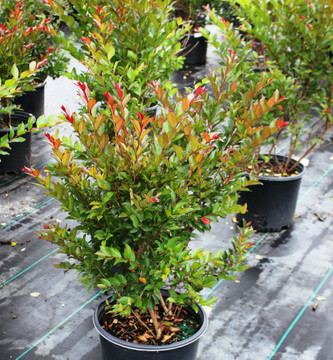 Lagerstroemia Enduring Summer™ Red (Crape Myrtle)