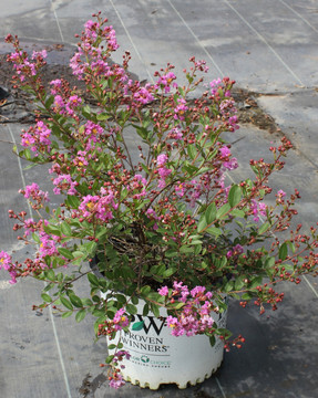 Lagerstroemia Infinitini® Orchid (Crape Myrtle)