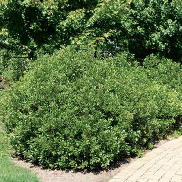 Myrica pensylvanica (Northern Bayberry)