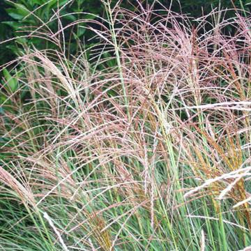 Miscanthus Gracillimus (Maiden Grass)