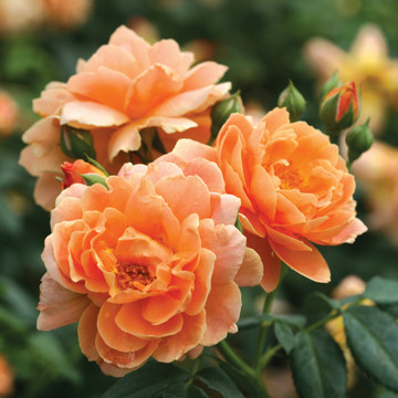 Rose At Last®