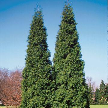 Arborvitae Spring Grove®