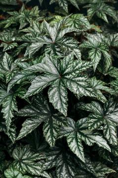 Begonia Pegasus®