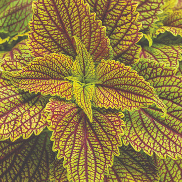 Coleus ColorBlaze® Golden Dreams™