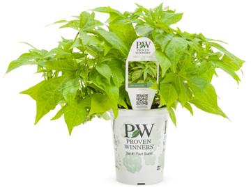 Ipomoea Sweet Caroline Kiwi™ (Sweet Potato Vine)