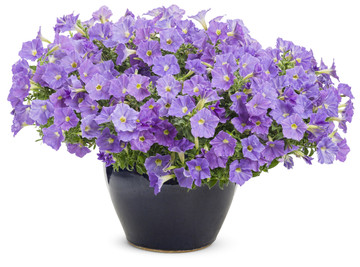 Petunia Supertunia® Blue Skies