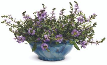 Scaevola Whirlwind® Blue (Fan Flower )