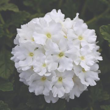 Verbena EnduraScape™ White