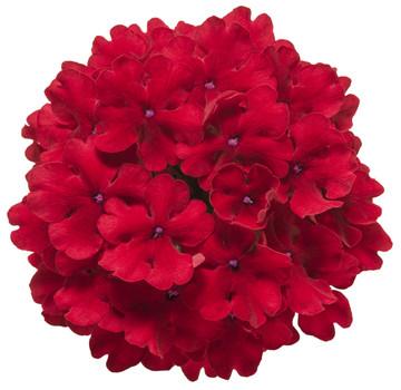 Verbena Superbena® Red