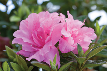 Azalea Autumn Carnation®