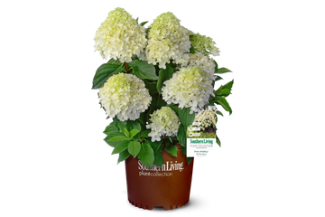 Hydrangea pan. White Wedding®