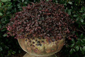 Loropetalum Purple Pixie®