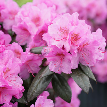 Rhododendron Black Hat®